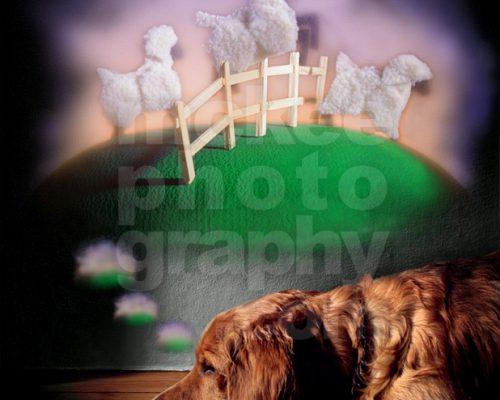 Golden Retriever Dog Counting Sheep