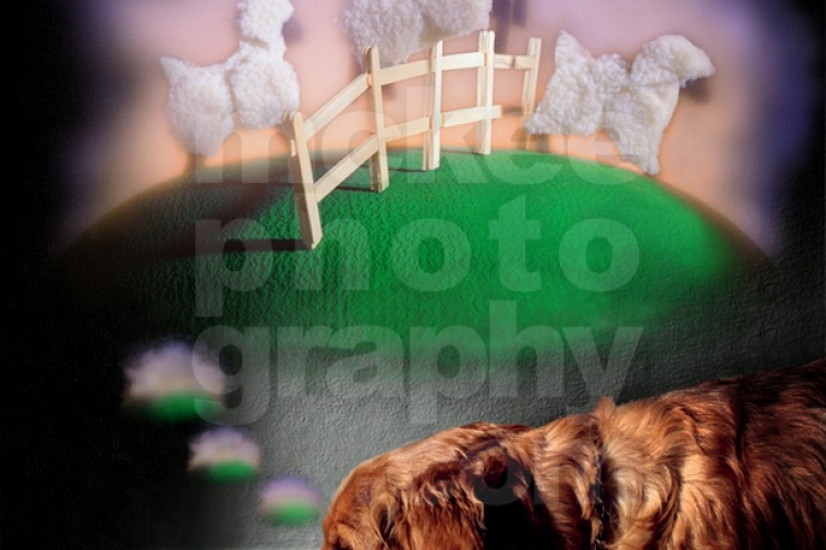 Dog Dreams – Counting Sheep – Stock Photo