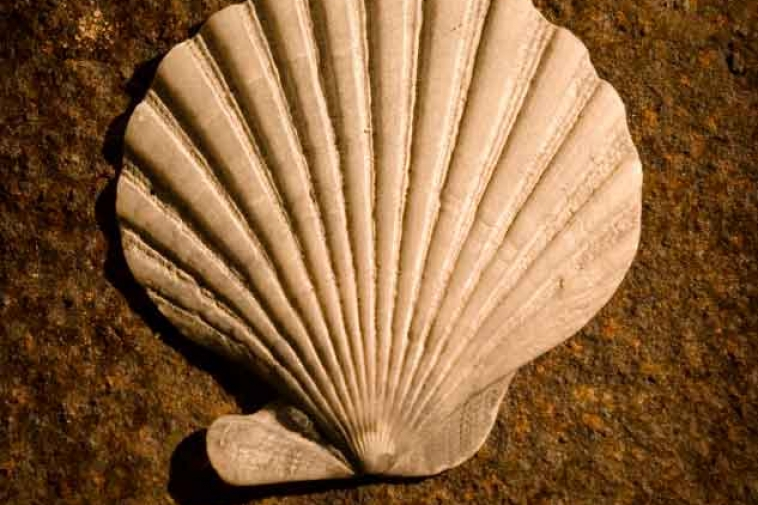 Scallop #2 – Found on the Beach