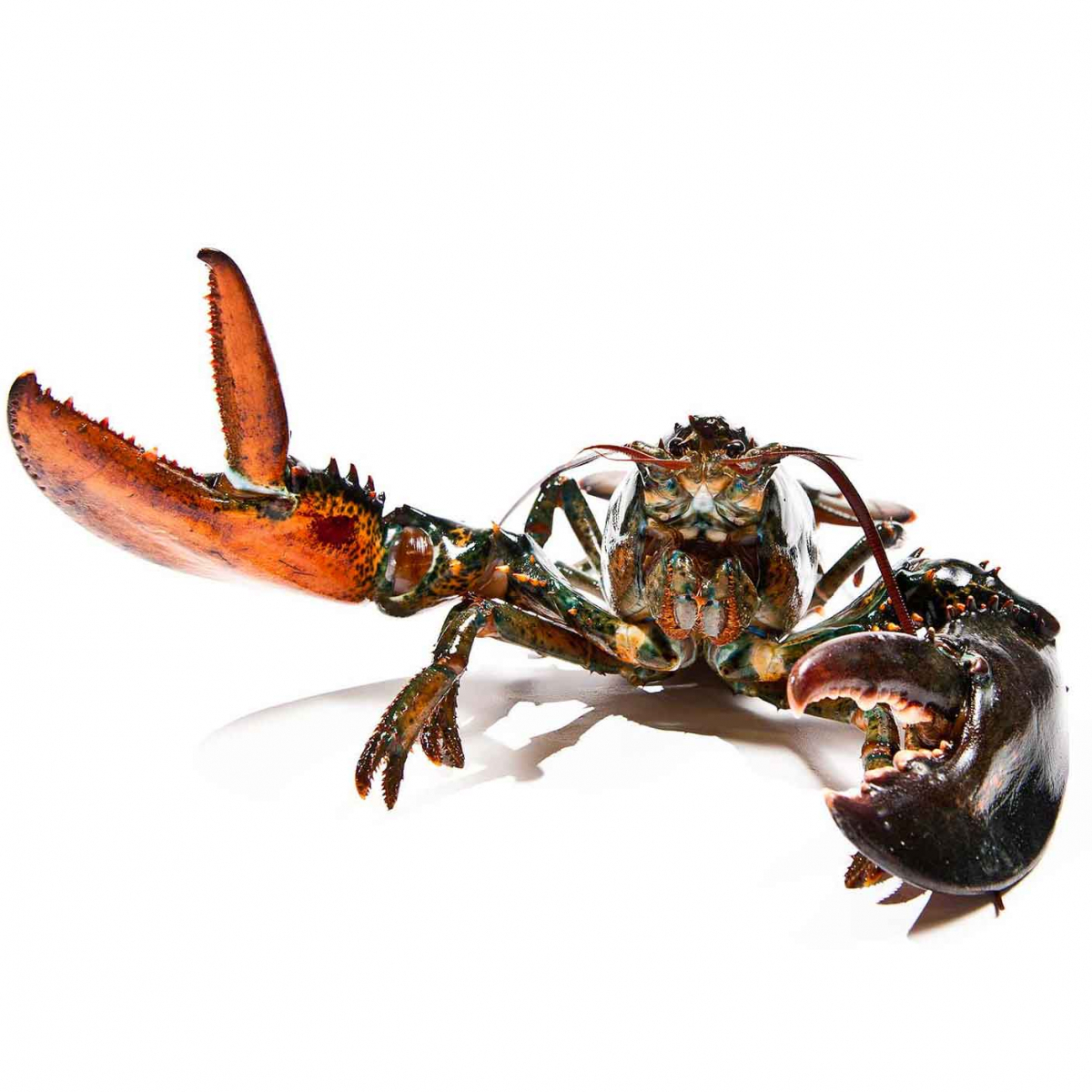 """""""Lobster says Hello"""" On White"""